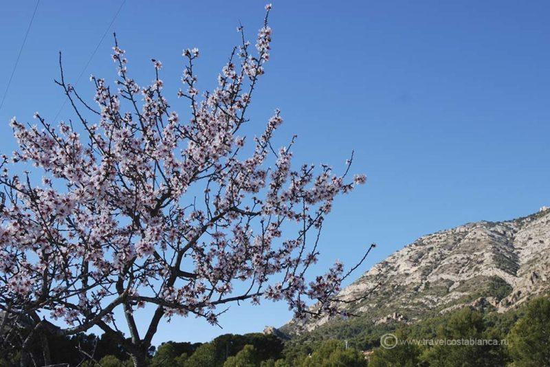 цветущий миндаль в Испании