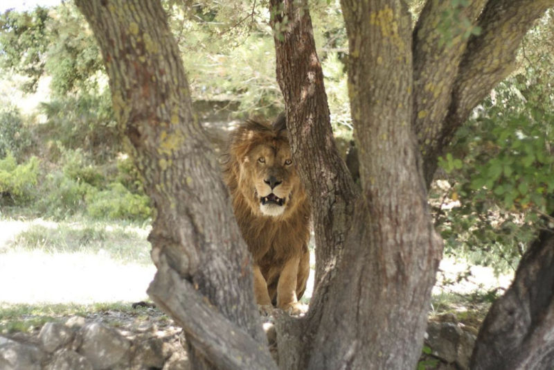сафари Айтана лев