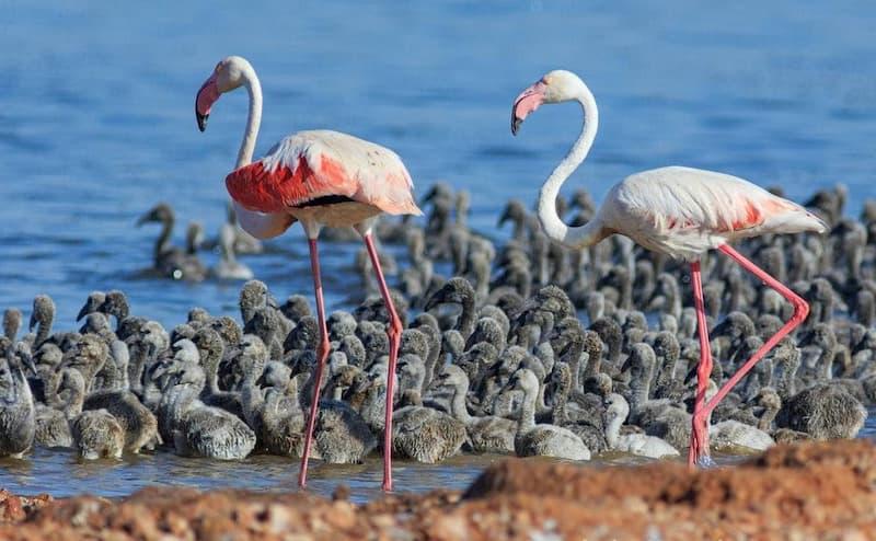 Салинас Ла Мата Торревьеха фламинго с птенцами