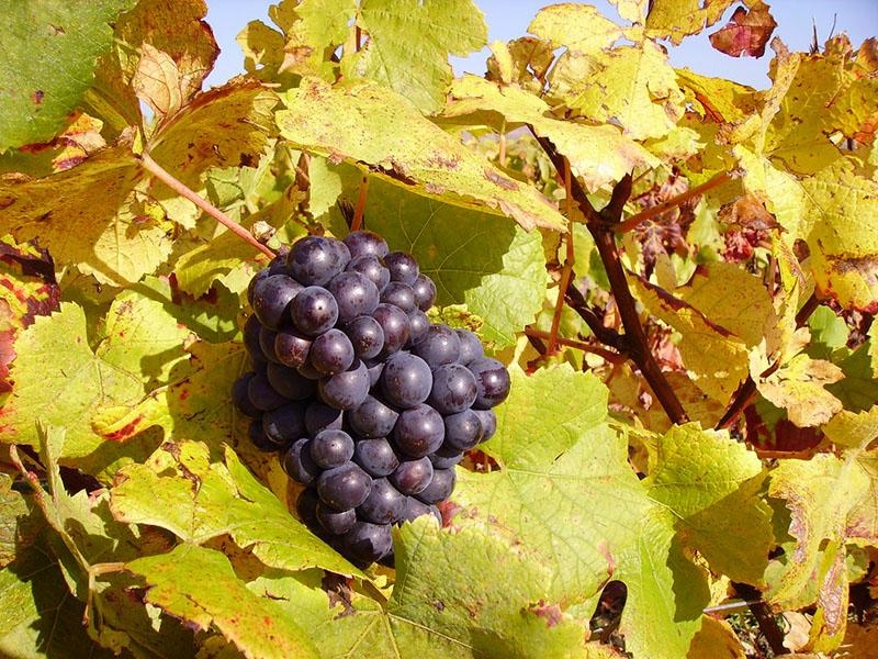 Виноградники в Аликанте, Испания